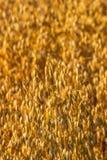 Primo piano del campo di grano maturo Fotografie Stock Libere da Diritti