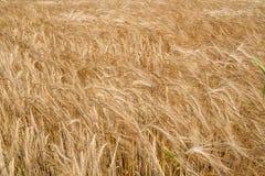Primo piano del campo di granulo come priorità bassa Immagine Stock Libera da Diritti