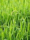 Primo piano del campo di poaceae dopo pioggia Fotografia Stock