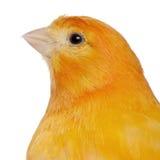 Primo piano del canarino, domestica di canaria del Serinus Immagini Stock