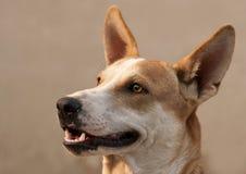 Primo piano del cane Fotografia Stock Libera da Diritti
