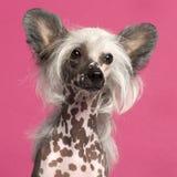Primo piano del cane crestato cinese davanti al colore rosa Fotografie Stock Libere da Diritti
