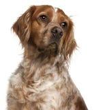 Primo piano del cane del Brittany, 3 anni Fotografia Stock Libera da Diritti