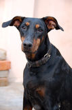Primo piano del cane del Doberman fotografia stock libera da diritti