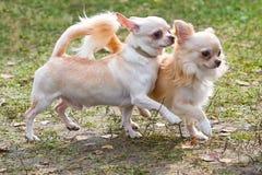 Primo piano del cane della chihuahua Immagini Stock