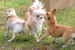 Primo piano del cane della chihuahua Fotografia Stock Libera da Diritti