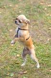 Primo piano del cane della chihuahua Fotografie Stock Libere da Diritti