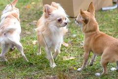 Primo piano del cane della chihuahua Fotografie Stock