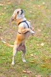 Primo piano del cane della chihuahua Immagine Stock Libera da Diritti