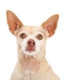 Primo piano del cane della chihuahua Fotografia Stock