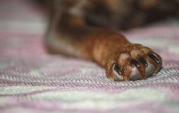 Primo piano del cane della zampa Fotografia Stock Libera da Diritti