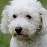 Primo piano del cane di Bichon Frise immagine stock