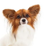 Primo piano del cane di Papillon Fotografia Stock