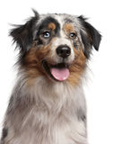 Primo piano del cane di pastore australiano, 1 anno Fotografia Stock Libera da Diritti