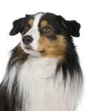 Primo piano del cane di pastore australiano, osservante via Fotografia Stock Libera da Diritti