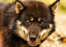 Primo piano del cane di slitta Fotografia Stock