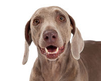 Primo piano del cane di Weimaraner Fotografia Stock