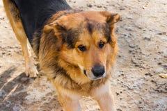 Primo piano del cane sulla terra Fotografia Stock Libera da Diritti