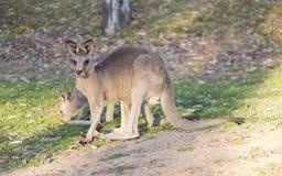 Primo piano del canguro Fotografia Stock