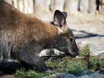 Primo piano del canguro con il pino immagine stock libera da diritti