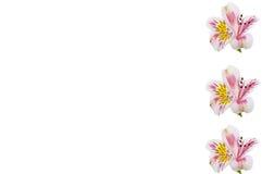 Primo piano del capolino di Alstroemeria isolato Immagini Stock Libere da Diritti