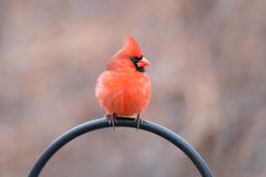 Primo piano del cardinale maschio Immagini Stock