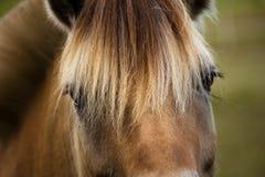 Primo piano del cavallo Immagine Stock Libera da Diritti