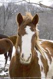 Primo piano del cavallo Immagini Stock Libere da Diritti