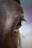 Primo piano del cavallo Immagini Stock