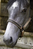 Primo piano del cavallo Fotografia Stock Libera da Diritti