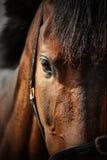 Primo piano del cavallo Immagine Stock