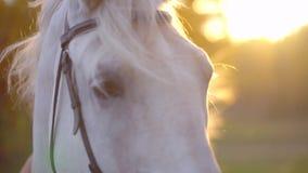 Primo piano del cavallo al tramonto Il cavallo bianco con il cablaggio e briglia fatta di cuoio Bello cavallo che esamina la macc stock footage
