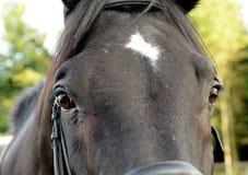Primo piano del cavallo di Brown Immagini Stock Libere da Diritti