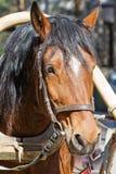 Primo piano del cavallo di Brown Fotografia Stock Libera da Diritti