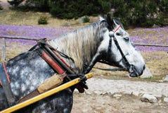 Primo piano del cavallo di carretto Fotografia Stock Libera da Diritti