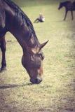 Primo piano del cavallo marrone grazioso maestoso Immagini Stock
