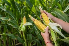 Primo piano del cereale dell'alimento sul campo verde Immagini Stock Libere da Diritti