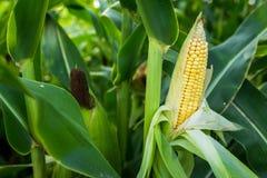 Primo piano del cereale dell'alimento sul campo verde Fotografia Stock