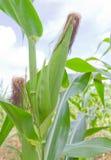 Primo piano del cereale fresco Fotografie Stock
