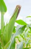 Primo piano del cereale fresco Immagini Stock Libere da Diritti