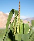 Primo piano del cereale verde Fotografia Stock