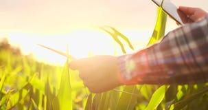 Primo piano del chiarore della lente: la mano dell'agricoltore tocca le foglie del cereale nel campo al tramonto e controlla la q archivi video