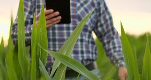 Primo piano del chiarore della lente: la mano dell'agricoltore tocca le foglie del cereale nel campo al tramonto e controlla la q video d archivio
