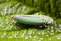 Primo piano del cicadellide Fotografie Stock Libere da Diritti