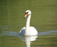 Primo piano del cigno bianco sull'acqua verde di un lago, grande nuoto dell'uccello acquatico, animale selvatico immagini stock libere da diritti