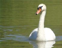 Primo piano del cigno bianco sull'acqua verde di un lago, grande nuoto dell'uccello acquatico, animale selvatico immagine stock