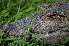 Primo piano del coccodrillo del Nilo Immagine Stock