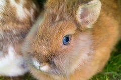 Primo piano del coniglio Fotografia Stock