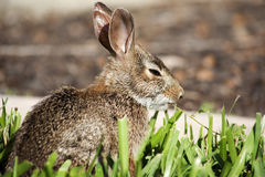 Primo piano del coniglio di coniglietto sveglio del silvilago nel giardino Fotografia Stock Libera da Diritti