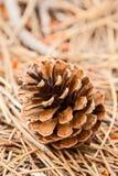 Primo piano del cono del pino Fotografia Stock Libera da Diritti